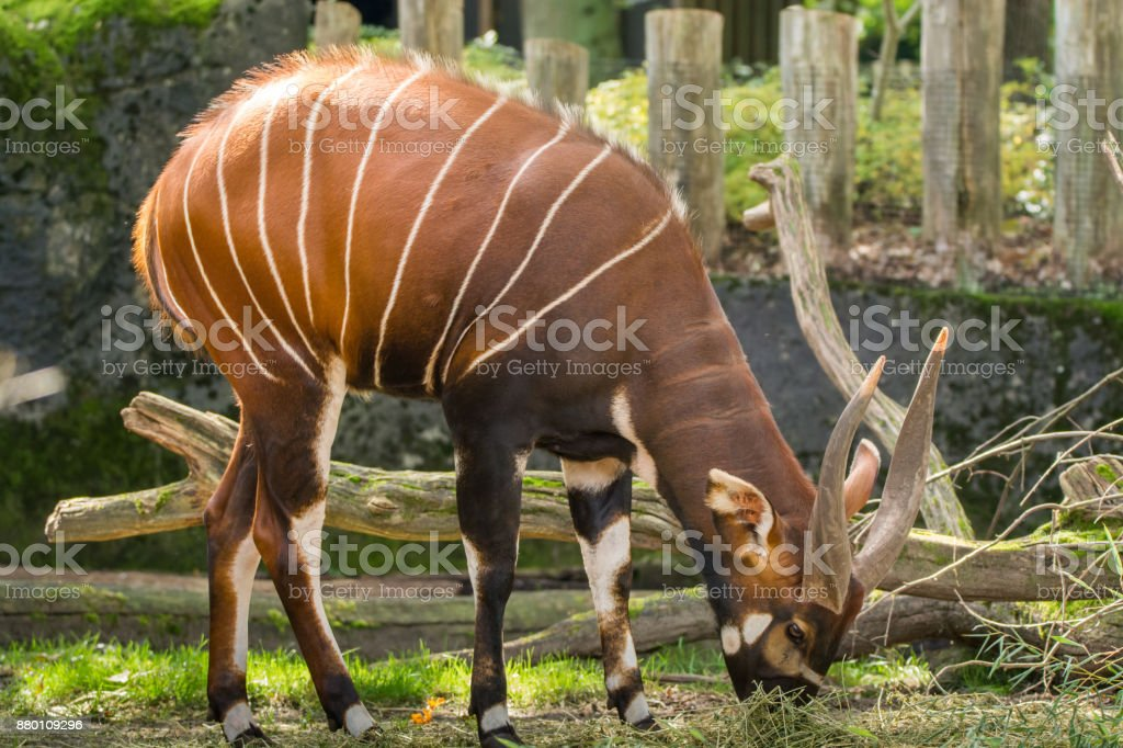 Beautiful animal - big eastern bongo antelope, extremely rare animal leaving only in Kenya. stock photo