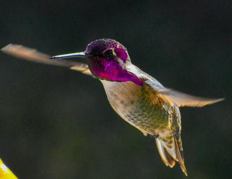 istock Beautiful Anna's Hummingbird caught in flight 1213781711