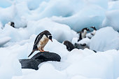 Gentoo Penguin standing on a rock amid beached icebergs, more penguins in the background, Cuverville Island, Antarctica