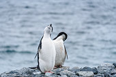 Two Chinstrap penguins on a rocky shore against a water background, Half Moon Island, Antarctica