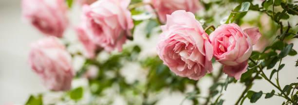 Schöne antike Bourbon rosa Rosen blühen in der Kloster-Garten, Slowenien – Foto