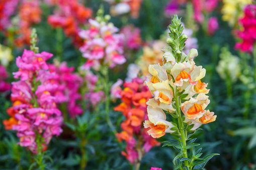 Beautiful Antirrhinum majus dragon flower also known as Snap Dragons and Tagetes patula (French Marigolds) is blooming in the garden.