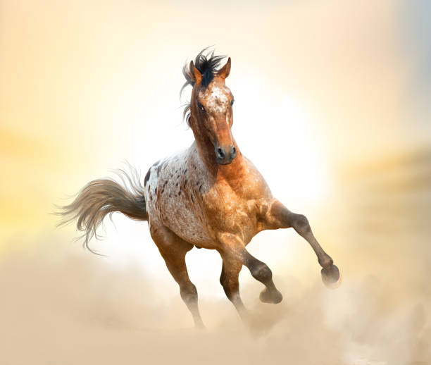 Beautiful appaloosa stallion Beautiful appaloosa stallion running gallop in sunset prairies, appaloosa stock pictures, royalty-free photos & images