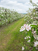 Beautiful apple blossom in an apple orchard