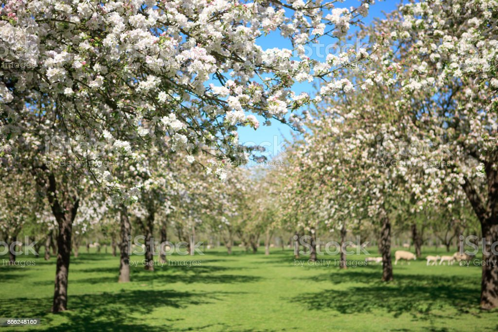 Beautiful apple orchard in blossom stock photo