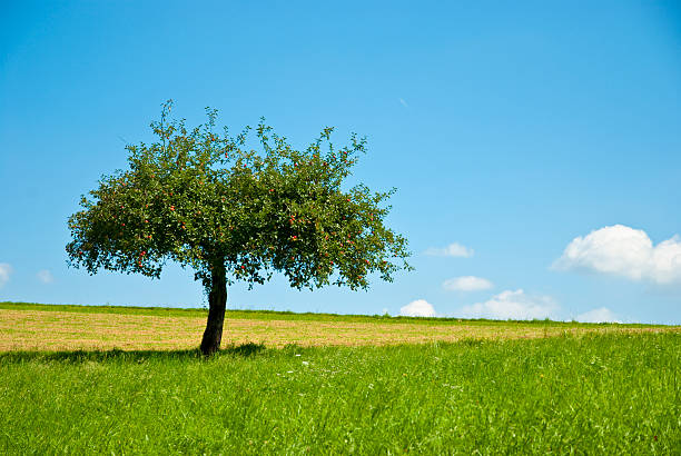Beautiful apple tree an green meadow stock photo