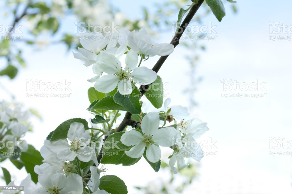 Beautiful apple tree blossom in nature on sky background. royalty-free stock photo