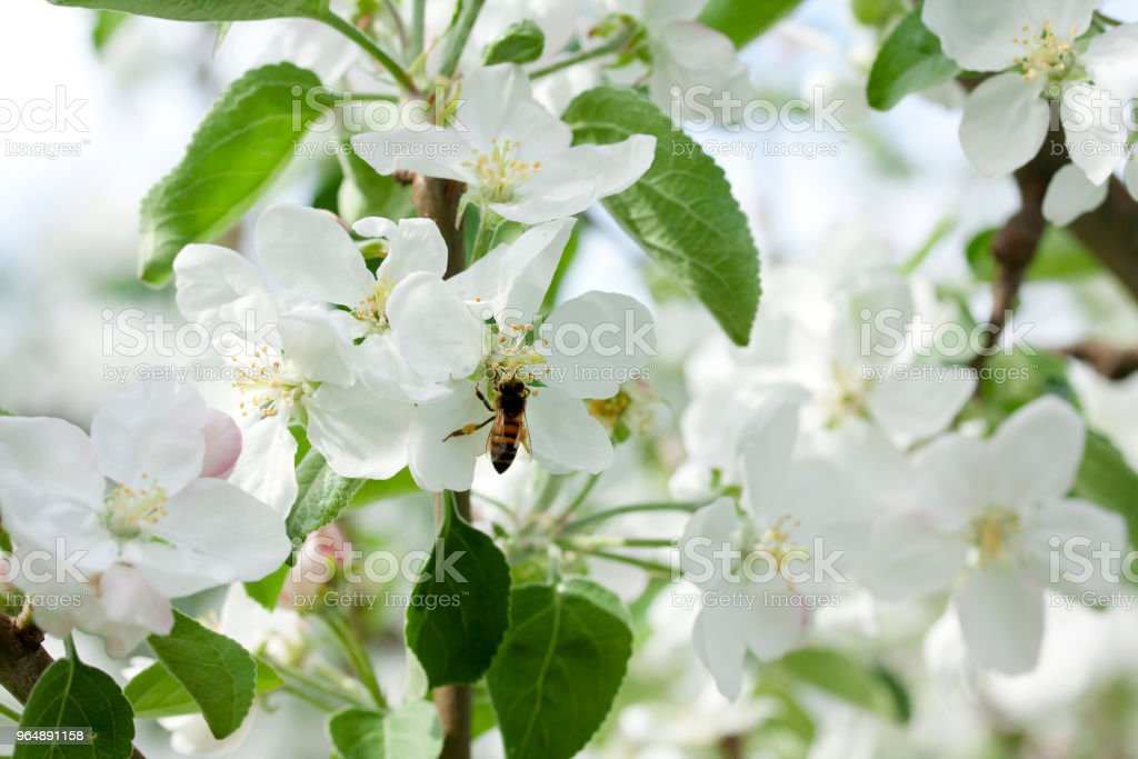 Beautiful apple tree blossom in nature. royalty-free stock photo