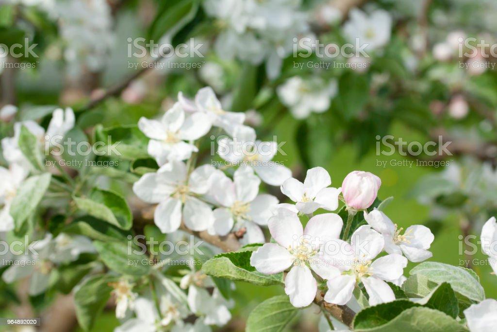 美麗的蘋果樹在自然界開花。 - 免版稅地勢景觀圖庫照片