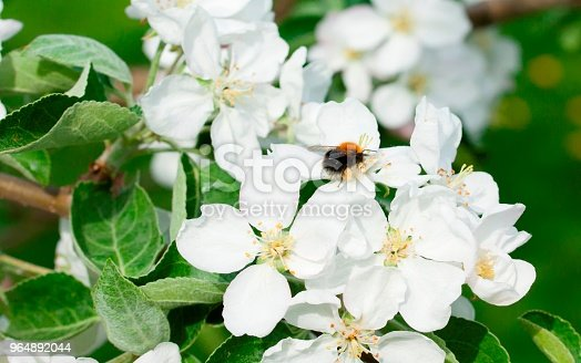 Beautiful Apple Tree Blossom In Nature Stock Photo & More Pictures of Beauty