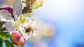 A bee foraging a beautiful apple tree blossom with pastel color in background