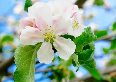 Wunderschöne Apfelbaumblüte mit blauem Hintergrund Nahaufnahme