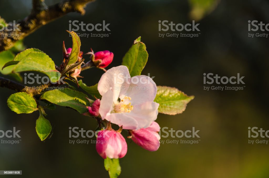 Beautiful Apple Tree Flower - Royalty-free Apple - Fruit Stock Photo
