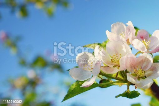 Beautiful blooming apple tree flowers and spring sunlight