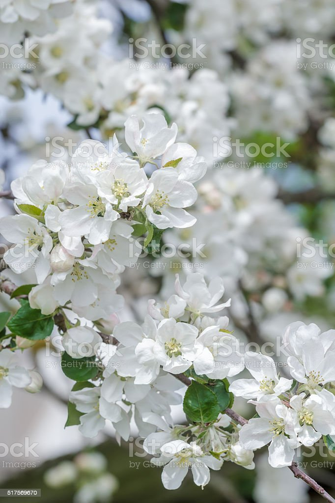 Beautiful Apple Tree Pink And White Flowers On Spring Branch Stock
