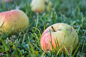 Beautiful apples in the drops of morning dew are scattered across the green grass. Autumn harvest of fruit in warm sunlight. Rays reflected in water drops on ripe apples.