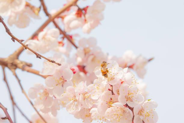 Beautiful apricot blossom & honeybee. stock photo