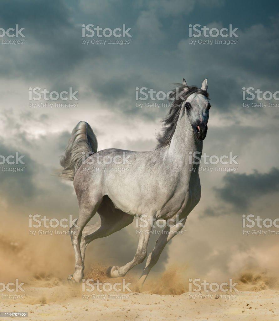 Beautiful Arab Horse In Desert Running Wild Stock Photo Download Image Now Istock