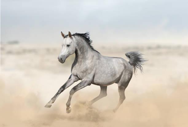Beautiful arab horse runs gallop Gray arabian stallion in desert running gallop arabian horse stock pictures, royalty-free photos & images