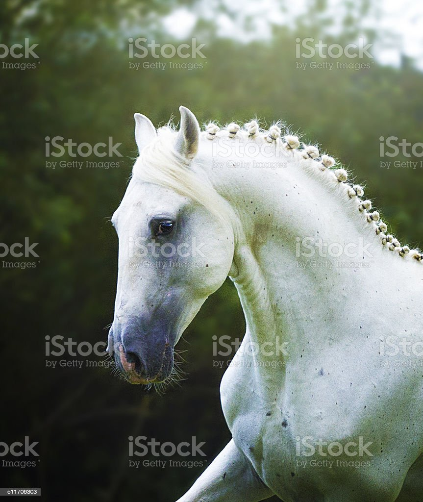 beautiful arabian horse lipizzaner running in nature stock photo