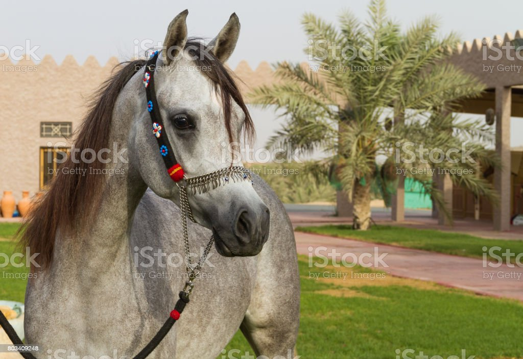 beautiful arabian horse stock photo