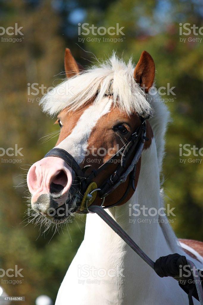 Beautiful Arabian Horse Portrait In Summer Stock Photo Download Image Now Istock