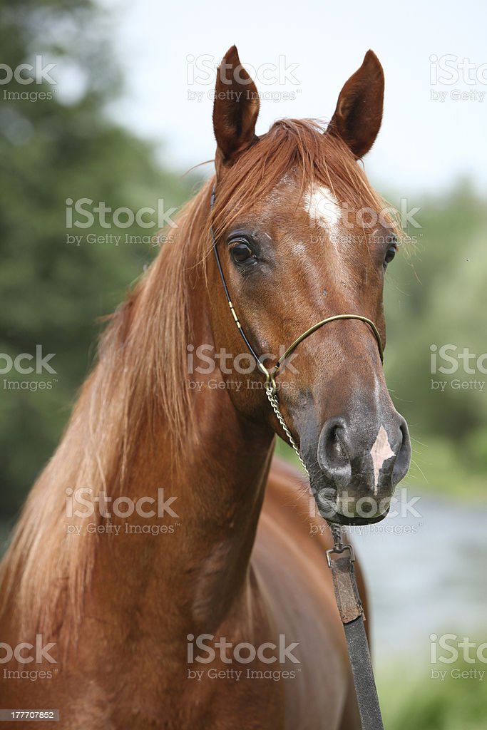 Beautiful Arabian Horse With Nice Show Halter Stock Photo Download Image Now Istock