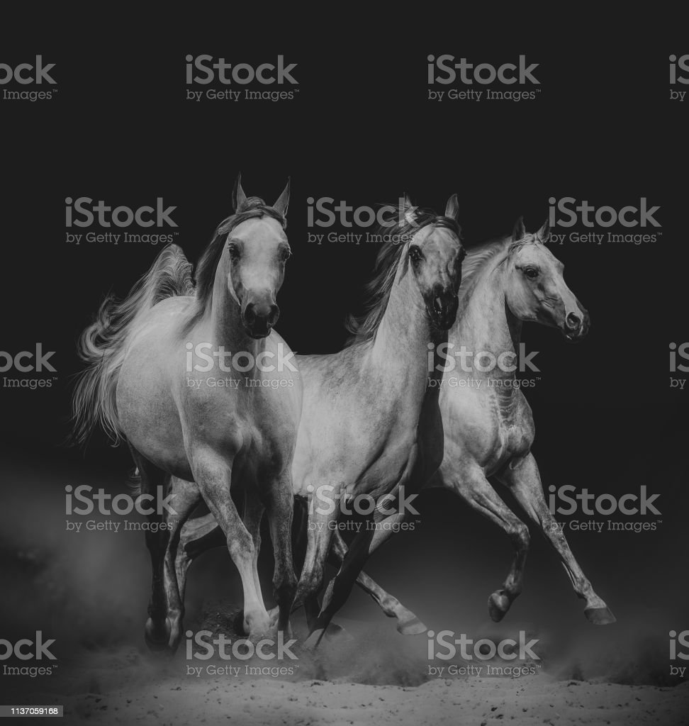 Beautiful Arabian Horses Stock Photo Download Image Now Istock