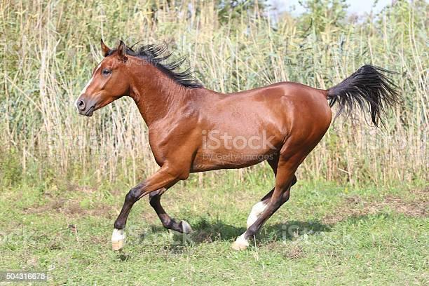 Beautiful Arabian Stallion Galloping On Summer Pasture Stock Photo - Download Image Now