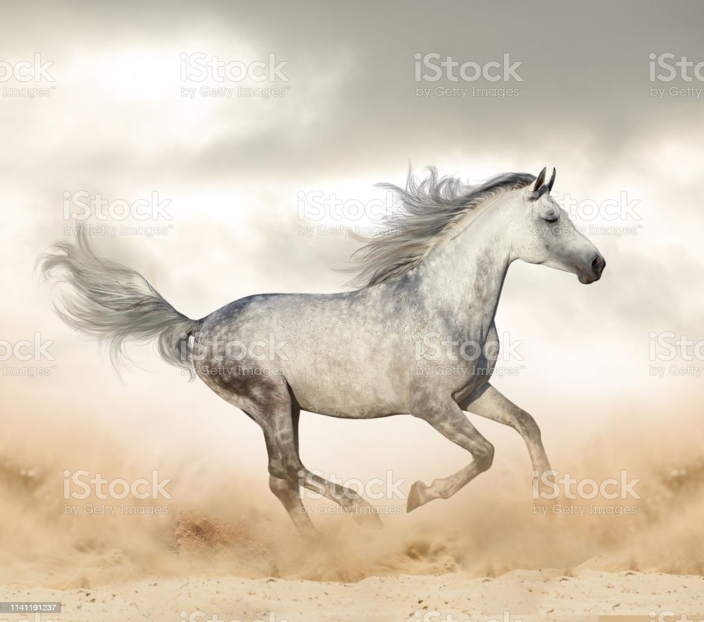 Beautiful Arabian Stallion In Desert Stock Photo Download Image Now Istock