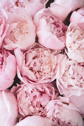 istock Beautiful aromatic fresh blossoming tender pink peonies texture, close up view 1061438604
