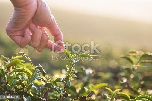 Beautiful asian woman harvest tea leaves in tea field in the morning.