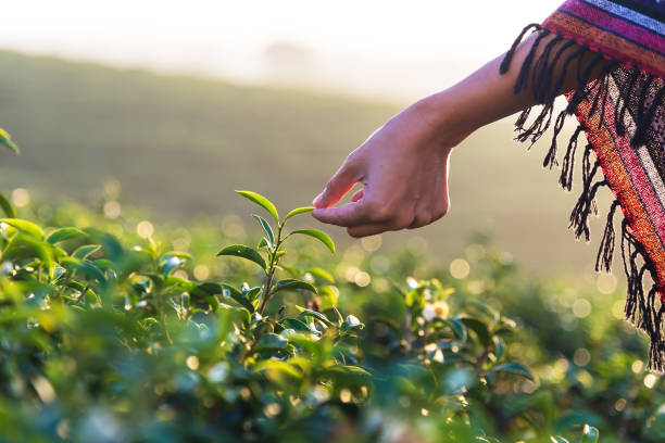 Beautiful asian woman harvest tea leaves in tea field in the morning. Beautiful asian woman harvest tea leaves in tea field in the morning. tea crop stock pictures, royalty-free photos & images