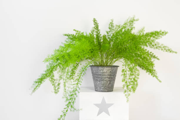 Beautiful asparagus fern in a zinc pot stock photo