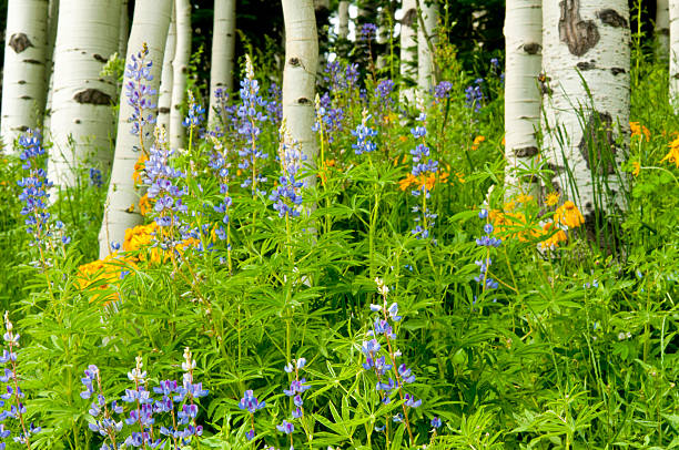 Beautiful aspens and wildflowers blooming in colorado picture id535021423?b=1&k=6&m=535021423&s=612x612&w=0&h=k g5ponh655fw4kjkun6swtu3kbtkrodkw 8la 5tlq=