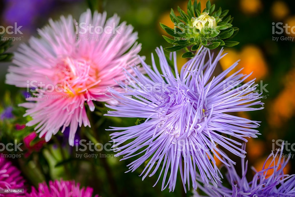 Beautiful asters. Nature background. stock photo