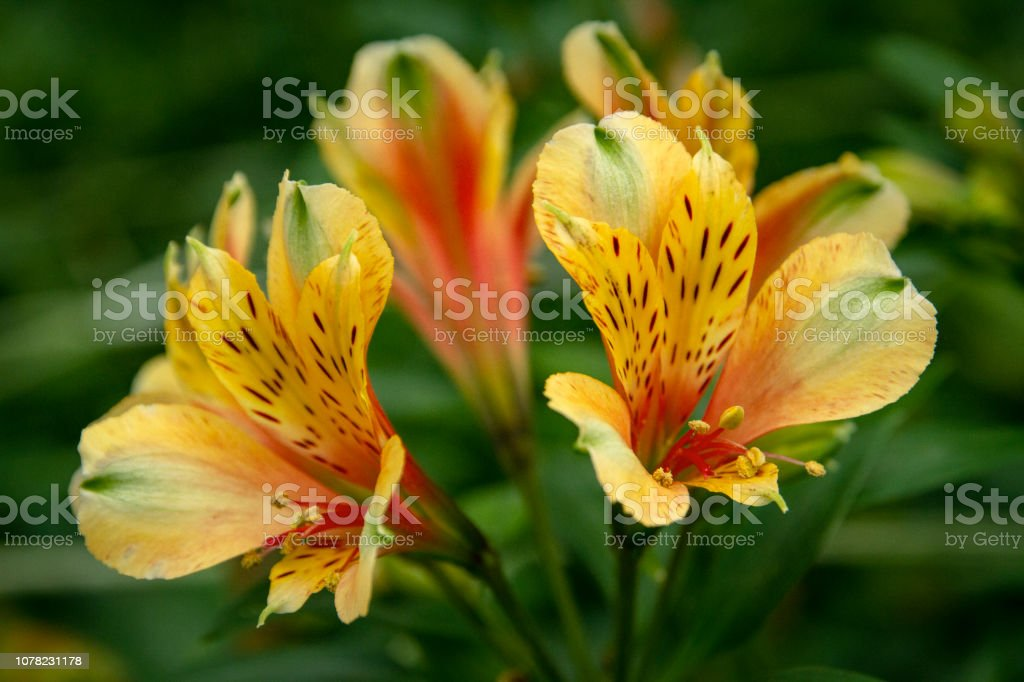 Beautiful Astromelia flowers close-up picture – zdjęcie