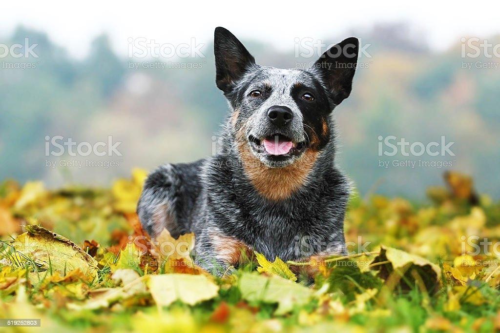 Piękne Australijski pies pasterski – zdjęcie