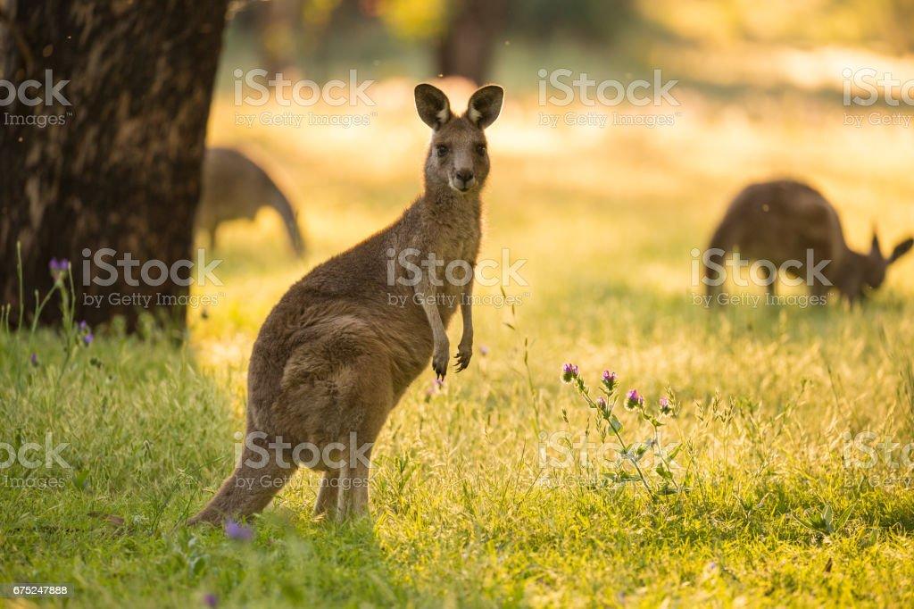 Beautiful Australian Eastern Grey Kangaroo Bathes in afternoon light stock photo