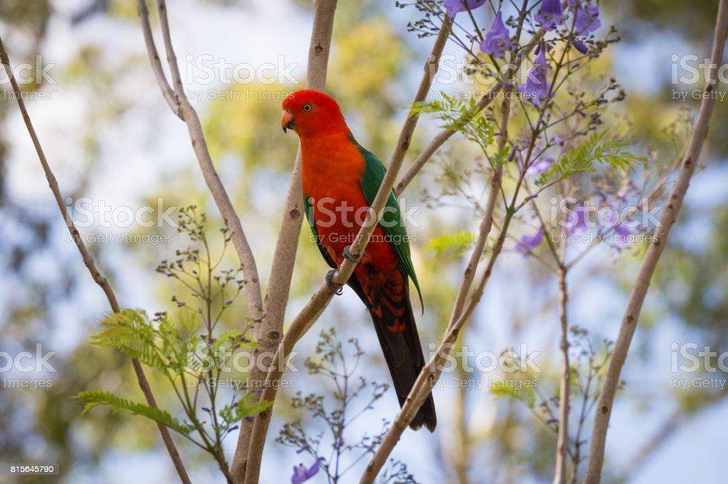 Beautiful Australian King Parrot bird in a tree stock photo