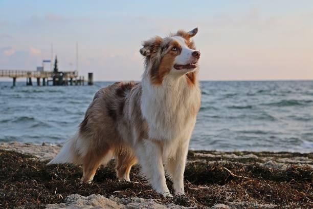 Schöner australischer Schäferhund steht früh am Morgen am Strand – Foto