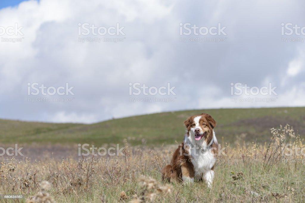 Beautiful Australian Shepherd sitting in meadow with dramatic sky stock photo