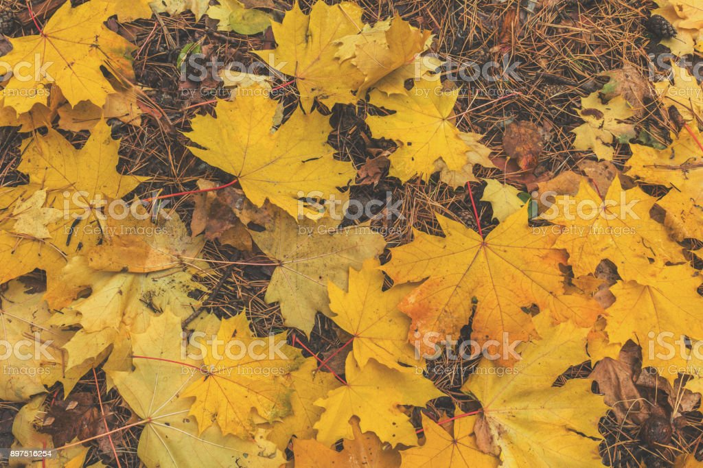 Beautiful autumn background with golden maple leaves in the city park royalty-free stock photo