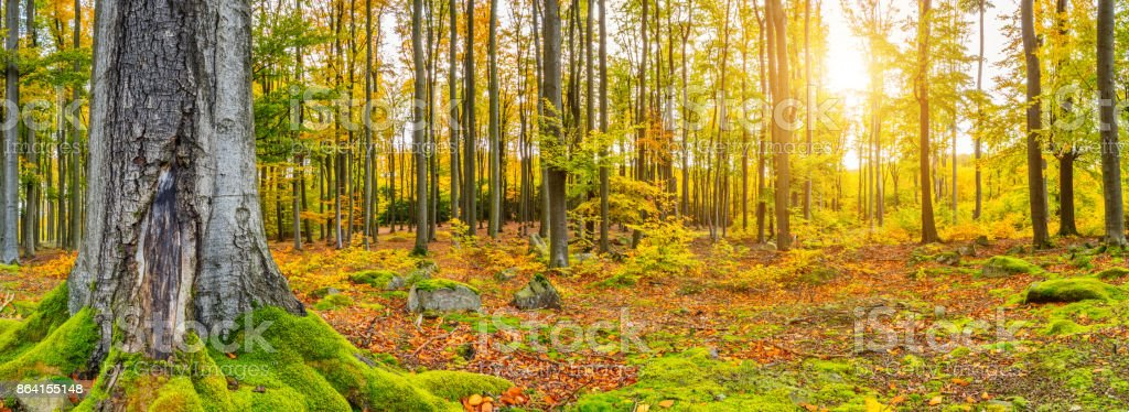 Beautiful autumn colored beech trees landscape royalty-free stock photo