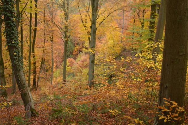vackra höstfärger i skogslandet - bernkastel kues höst bildbanksfoton och bilder