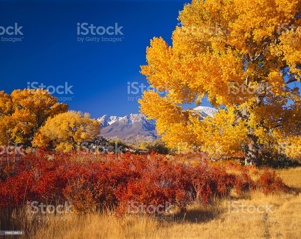 Beautiful autumn cottonwood trees in California USA royalty-free stock photo
