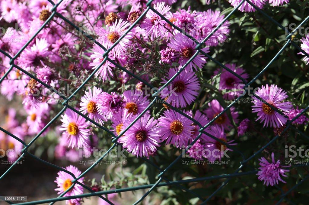 Schone Herbstblumen Bluhende Dahlien Im Garten Stockfoto Und
