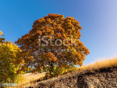 Beautiful autumn landscape - big maple with orange leaves on the slope and blue sky in the background