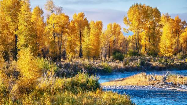 A beautiful autumn landscape scene with a forest of cottonwood trees with vibrant yellow leaf color, beside a vivid blue river in Grand Teton National Park, Jackson Hole, Wyoming. A scenic, curving riverbank covered with many cottonwood trees in their peak fall colors of yellow, gold and orange, and a flowing stream with vibrant blue color. cottonwood tree stock pictures, royalty-free photos & images