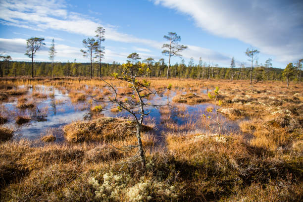 A beautiful autumn landscape with a swamp in Femundsmarka National Park in Norway. Colorful autumn scenery. stock photo